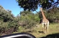 Animal Clip Of The Week: Wild Giraffe Chases Vehicle Of Spectators! (Woman Screaming)